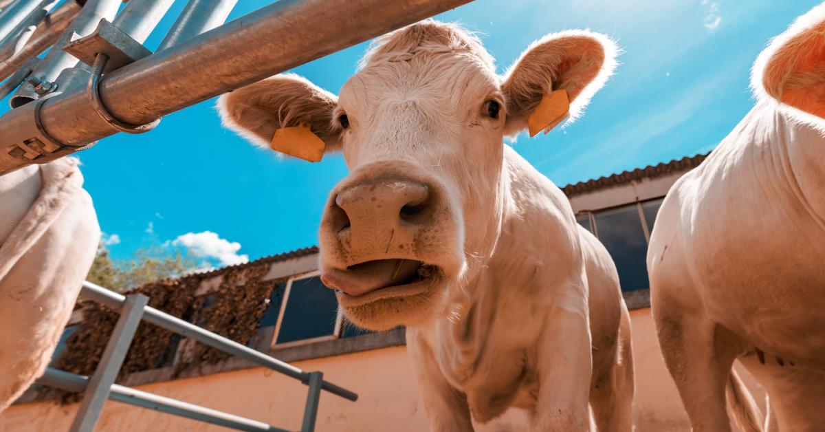 Engorda do boi em confinamento: entenda mais sobre o assunto